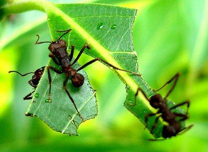 Formigas defendem planta em troca de proteína, mostra estudo