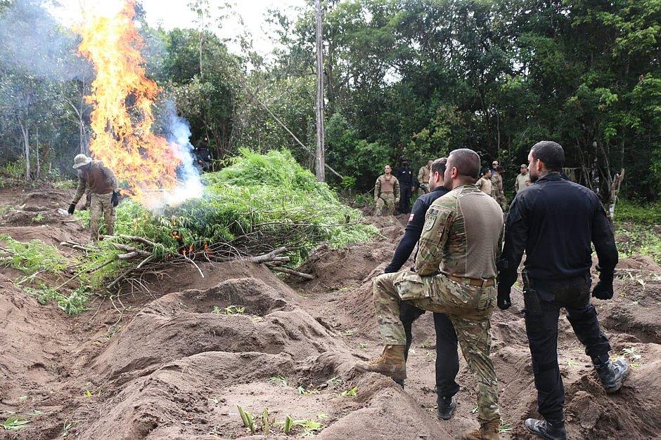 Esplanada: polícia encontra 2.100 pés de maconha plantados junto com eucalipto