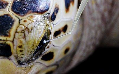 Por ter uma textura diferente, as lágrimas das tartarugas marinhas são coletadas com auxílio de uma seringa.