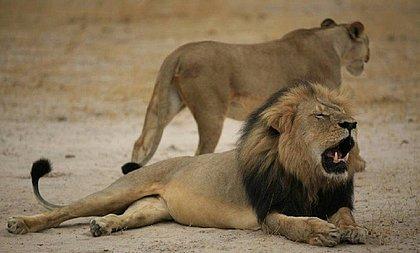 Leões são vítimas constantes, como o leão Cecil, símbolo do Zimbábue morto em 2015 por um turista americano