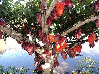 Cacau é produzido em sistema de cabruca no Sul da Bahia