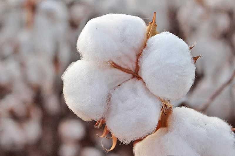 Produtores de algodão encerram plantio com otimismo