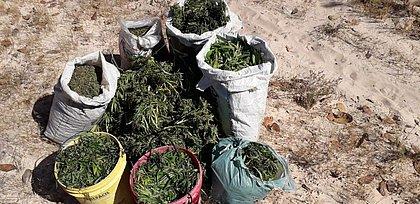 Polícia destrói plantação com 5 mil pés de maconha no oeste baiano