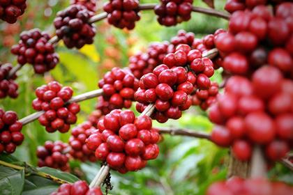 Bahia passa a ter quatro produtos agrícolas na lista de indicação geográfica do país