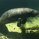 Peixe-boi marinho, espécie que é encontrada na área da Reserva Extrativista de Cururupu