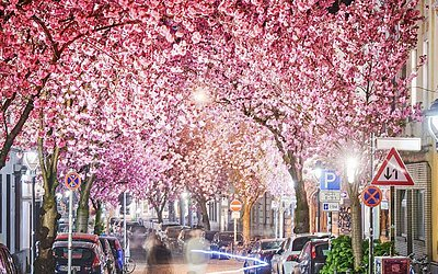Cerejeiras em plena floração, na rua Heerstrasse em Bonn, Alemanha Ocidental.