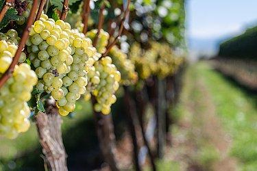 Variedades de uvas mais tradicionais foram plantadas na região