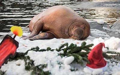 Morsa na neve artificial do zoológico Hagenbecks Tierpark, em Hamburgo, no norte da Alemanha.