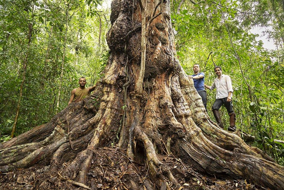 A expedição com o botânico Ricardo Cardim (de branco), o mateiro Alex Vincintin e o guia Uanderson Sousa (à esquerda) conseguiu catalogar a árvore