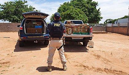 PRF apreende 74 aves vítimas de maus tratos; suspeitos tinham até animais ameaçados de extinção