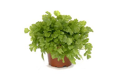 Coentro é uma erva aromática utilizada na culinária como tempero. Folhas mais jovens têm sabor suave, ao contrário das mais velhas. Cresce melhor em climas quentes e se for cultivada em plena luz do sol. Regue para deixar o solo úmido o tempo inteir
