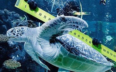 """O mergulhador Oliver Volz mede a tartaruga """"Speedy"""" durante o relatório anual do aquário Sea Life em Timmendorfer Strand,no norte da Alemanha."""