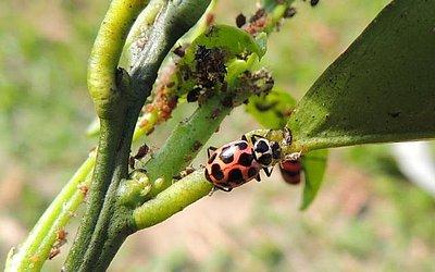 As Joaninhas são inimigas naturais dos pulgões e ajudam a combater pragas nas lavouras