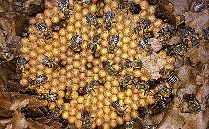 Abelha cada vez mais rainha: Bahia bate recorde e produz 5 mil toneladas de mel no ano