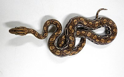 O Núcleo abriga pouco mais de 30 serpentes exóticas como a jiboia arco-íris.