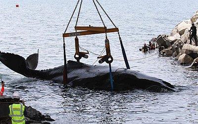 Mergulhadores da ONG  'Globice' especializada na proteção dos animais marinhos e trabalhadores da construção civil realizam uma operação de resgate para salvar um filhote de baleia encalhado nas águas rasas do Grande Chaloupe, França.