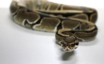Entre as cobras exóticas está a Piton Regius.