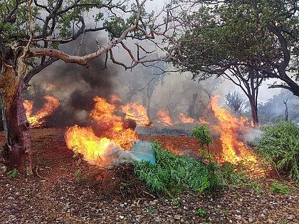 Operação integrada incinera mais de 78 mil pés de maconha no norte da Bahia