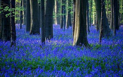 Bluebells selvagens florescendo em Halle.
