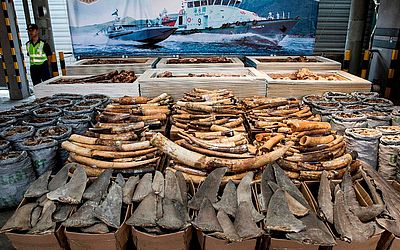 A alfândega de Hong Kong apresenta uma mostra do que é comercializado e apreendido no comércio ilegal de extrativismo animal, incluindo as presas de marfim de elefante e escamas e barbatanas de tubarão.