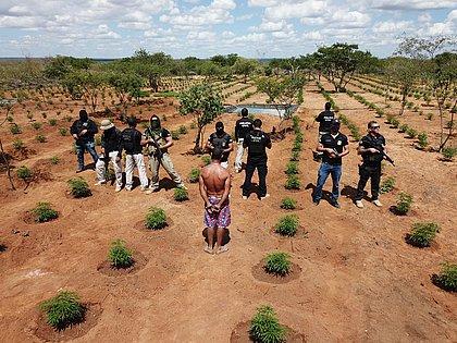Plantação de maconha avaliada em R$ 32 milhões é destruída na Bahia