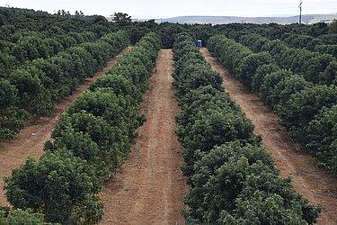 Pomares de abacate estão em expansão no Brasil