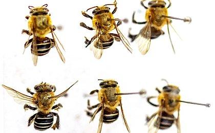 Massacre das abelhas: 75 milhões envenenadas por agrotóxicos na Bahia