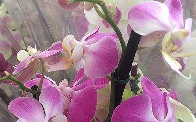 A orquídeas Phalaenopsis é uma das espécies cultivada na Bahia