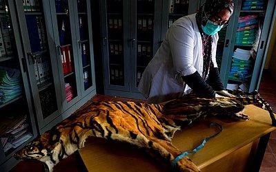 Uma conservacionista da Indonésia verifica a pele confiscada de um tigre de Sumatra apreendido de um caçador na Banda Aceh, província de Aceh.