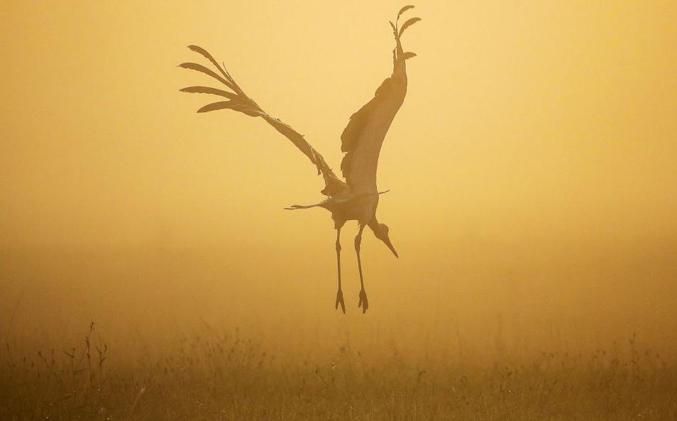 Cegonha voa no prado em Riedlingen-Daugendorf ao nascer do sol.