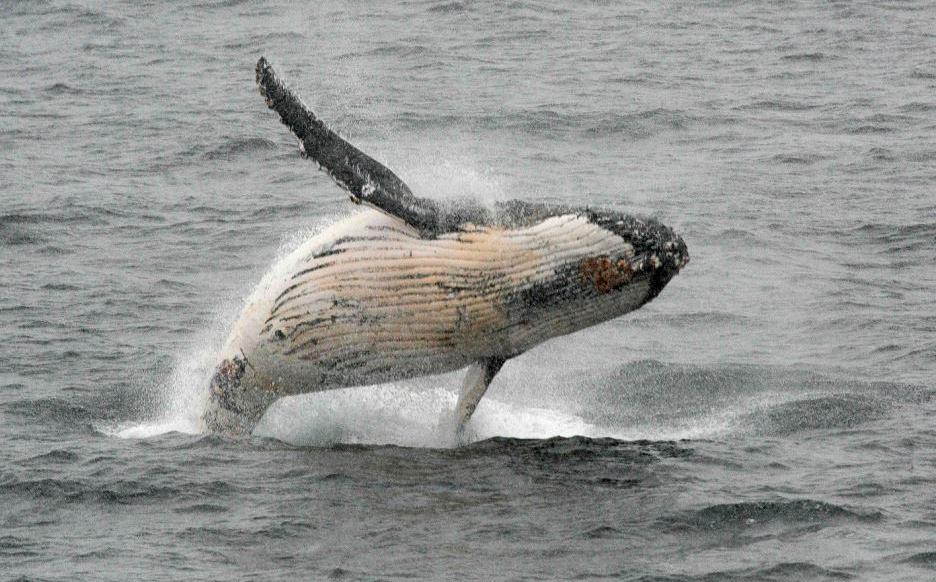 A Comissão Baleeira Internacional (IWC) está reunida no Brasil contra a proposta do Japão de acabar com uma moratória de três décadas sobre a caça comercial de baleias.