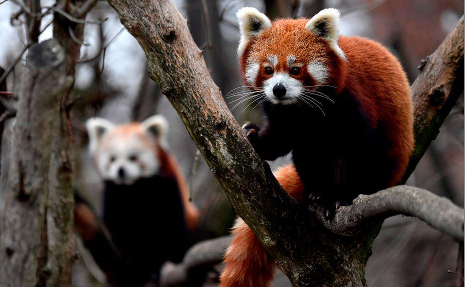 Pandas vermelhos no zoológico de Tierpark em Berlim. O panda vermelho, nativo do Himalaia Oriental e sudoeste da China, é listado como espécie ameaçada na lista vermelha da IUCN.