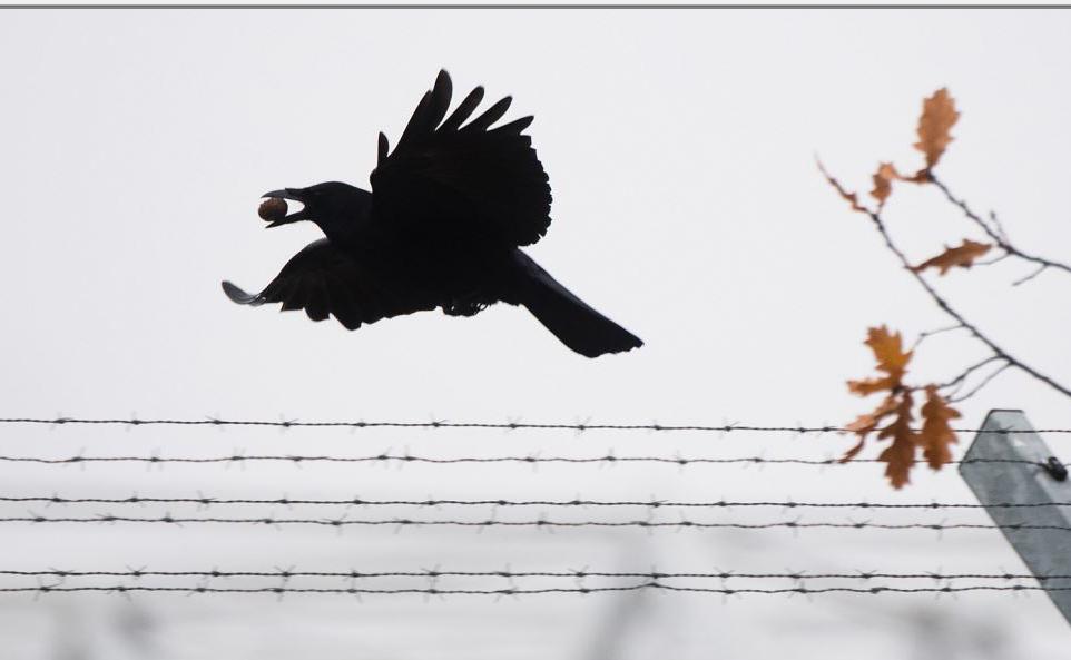 Um corvo sobrevoa  cerca de arame farpado em Hanover, norte da Alemanha.