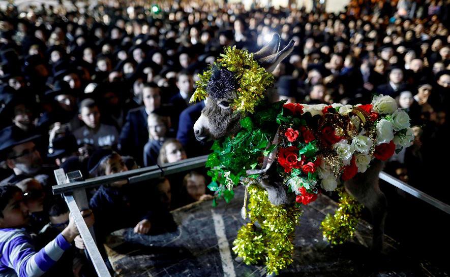 """Judeus ultra-ortodoxos reverenciam um burrinho enfeitado durante a cerimônia de """"Redenção do primeiro burro"""", ou em Hebraico """"Petter Chamor"""". Em Jerusalém, a tradição da """"Redenção do primeiro burro"""" é parte das 613 leis celebradas na Bíblia Juda"""