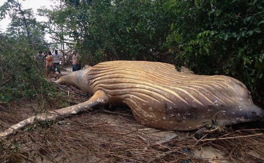 Baleia jubarte encontrada morta em meio a vegetação da praia de Araruna, em Soure, na ilha de Marajó, no Pará, norte do Brasil.