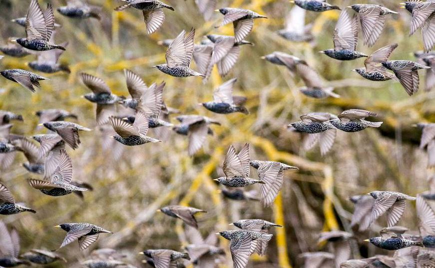Bando de estorninhos numa reserva natural perto do Rio Danúbio, em Daugendorf, sul da Alemanha.