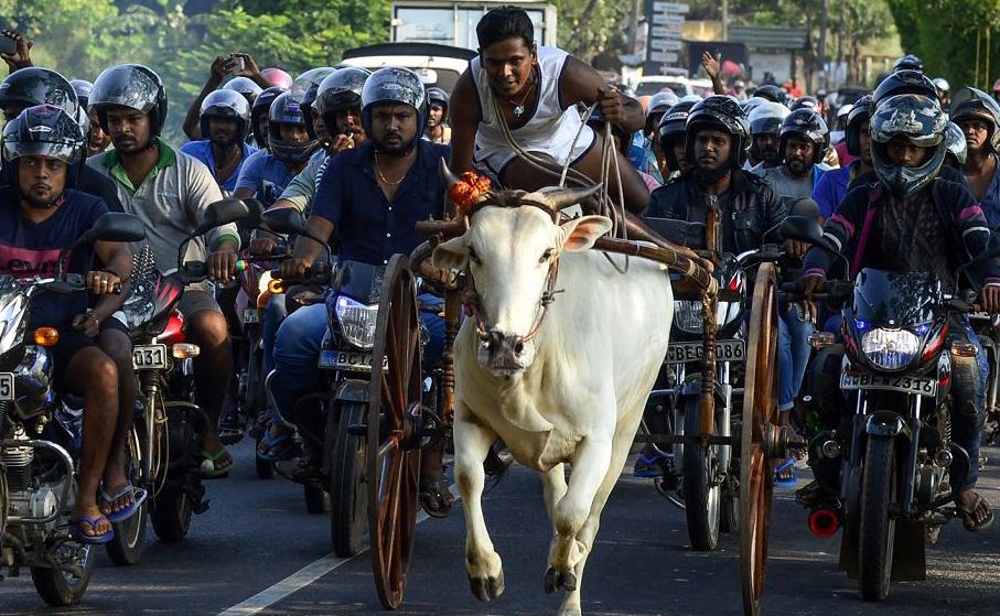 Corrida de touros no Sri Lanka nas comemorações do ano novo nacional. O ano novo cairá no dia 14 de abril deste ano.