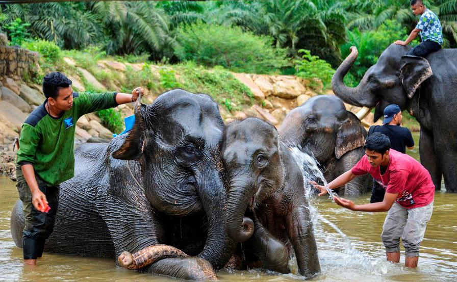 Indonésios Mahouts banham elefantes de Sumatra no rio Trumon, em Leuser, província de Aceh Sul.