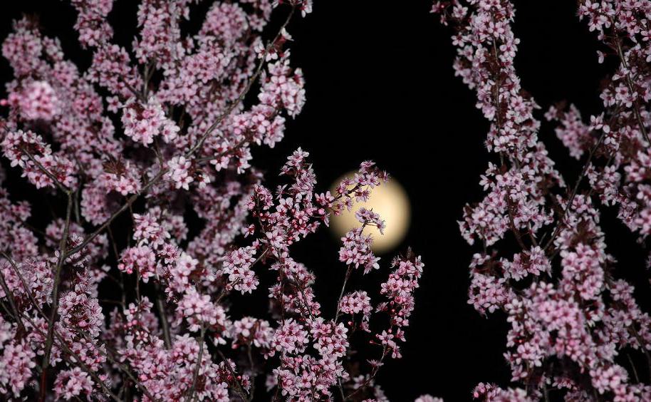 Cerejeiras em flor em Marktoberdorf, na Alemanha.
