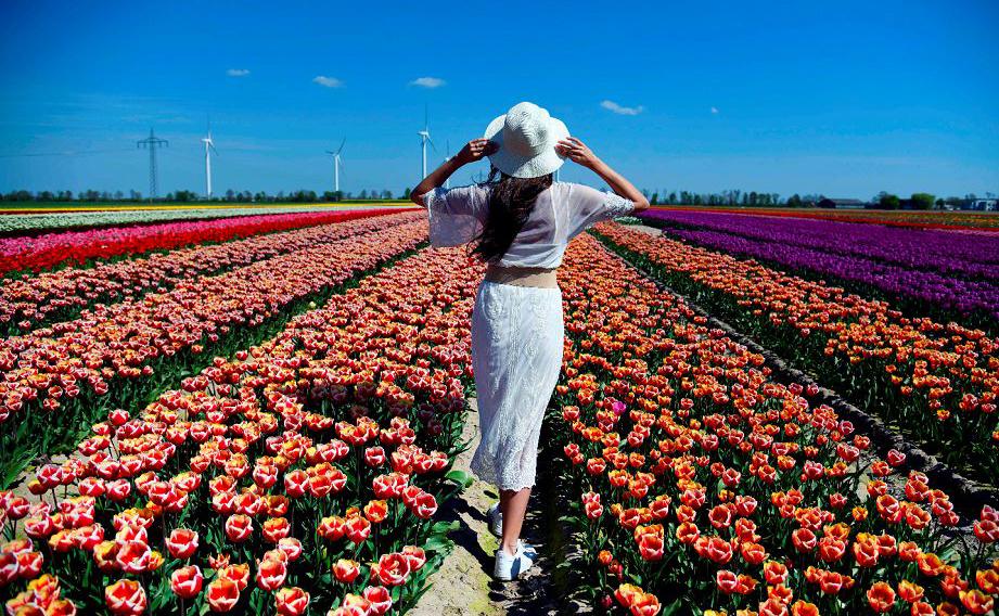 Campo de tulipas em Korschenbroich, na Alemanha.
