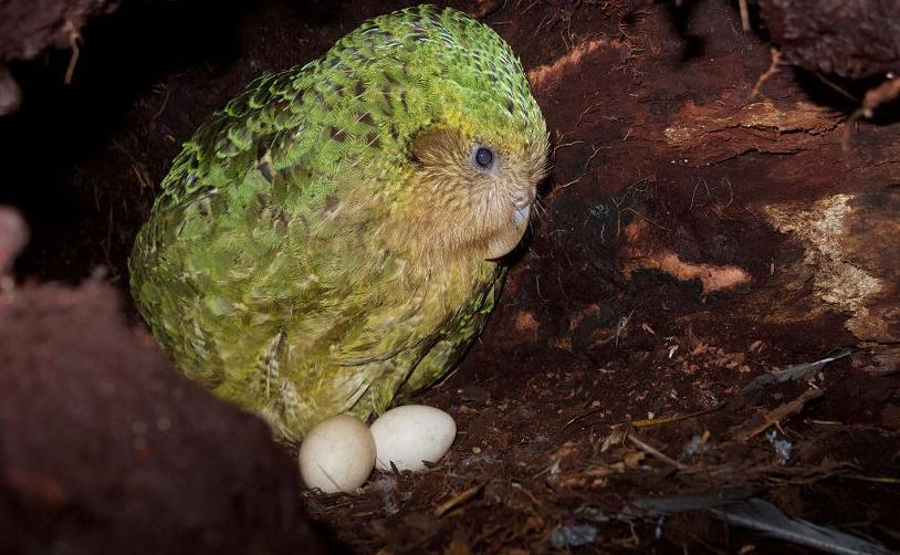 O Departamento de conservação da Nova Zelândia mostra um kakapo sentado no seu ninho na ilha de Codfish, também conhecido como Whenua Hou. O animal está em perigo de extinção.