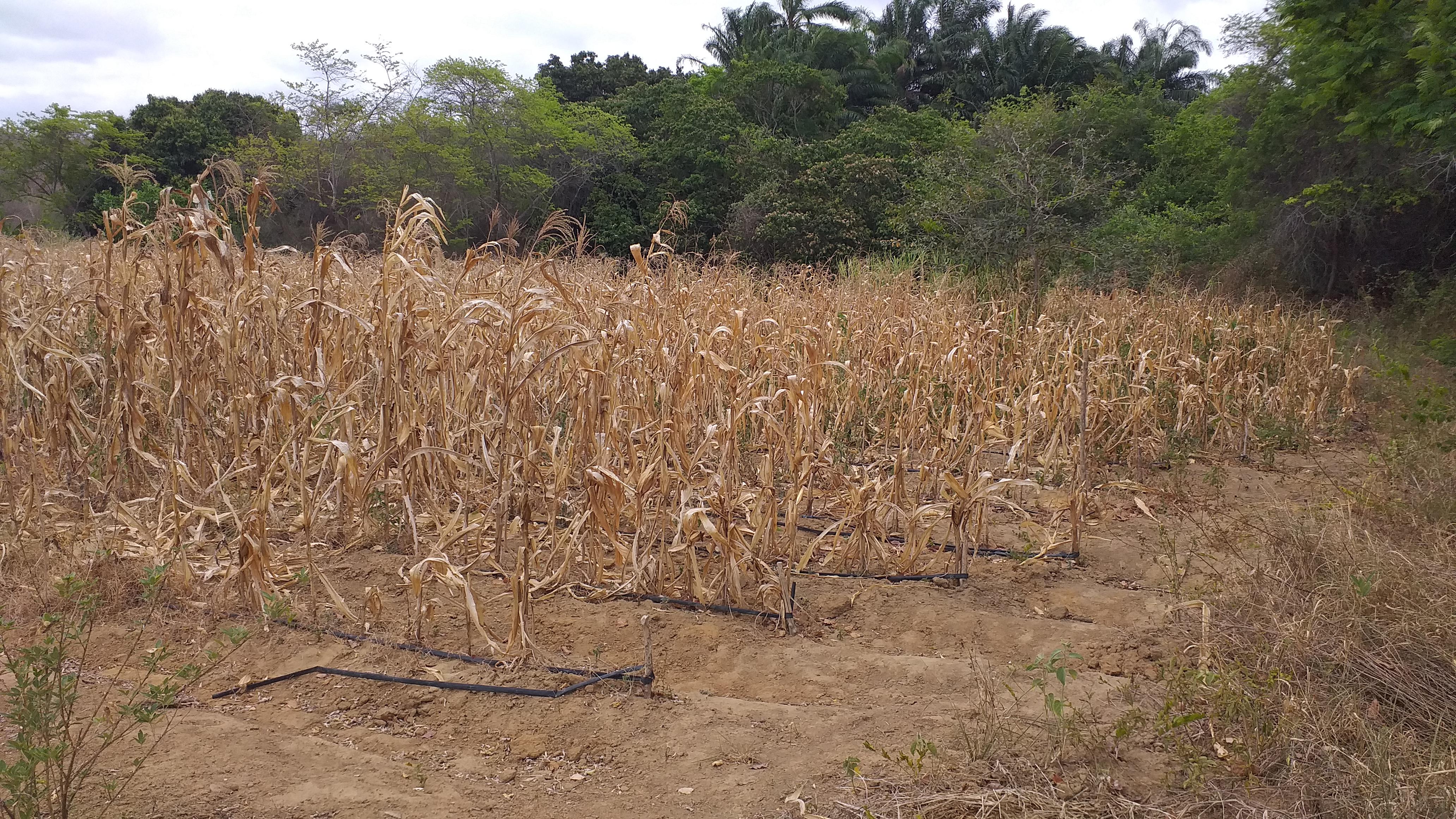 Água não chega: Milharal secou antes do tempo por falta de irrigação no Assentamento São Sebastião.