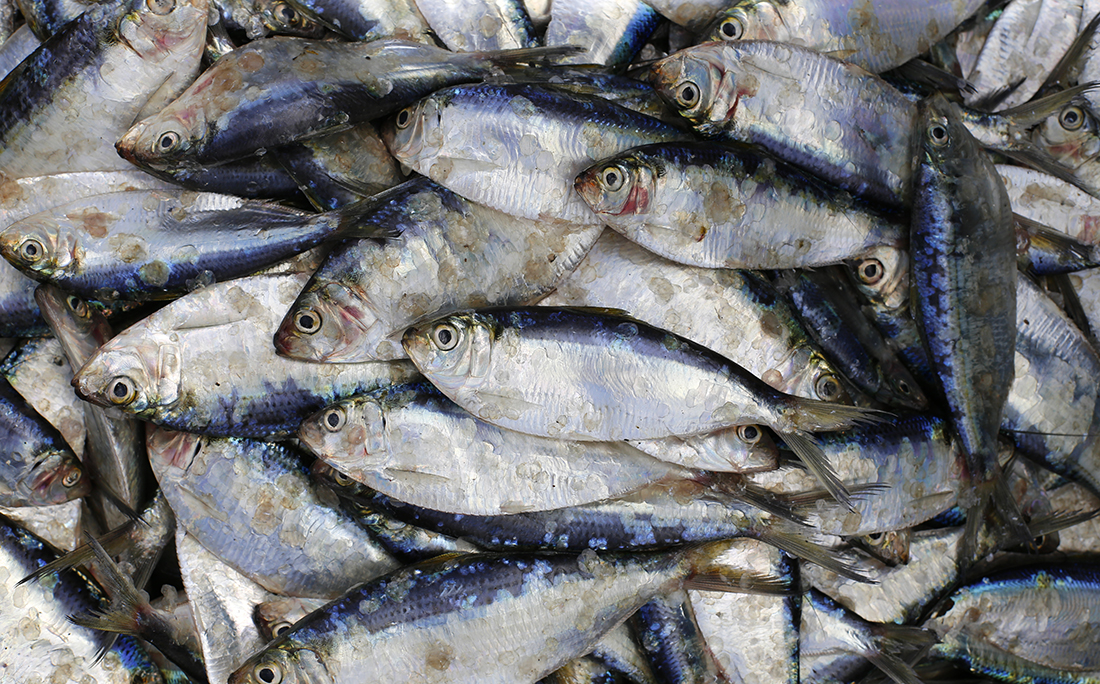 A sardinha já chegou a ser vendida por 30 centavos o quilo no Porto das Sardinhas.
