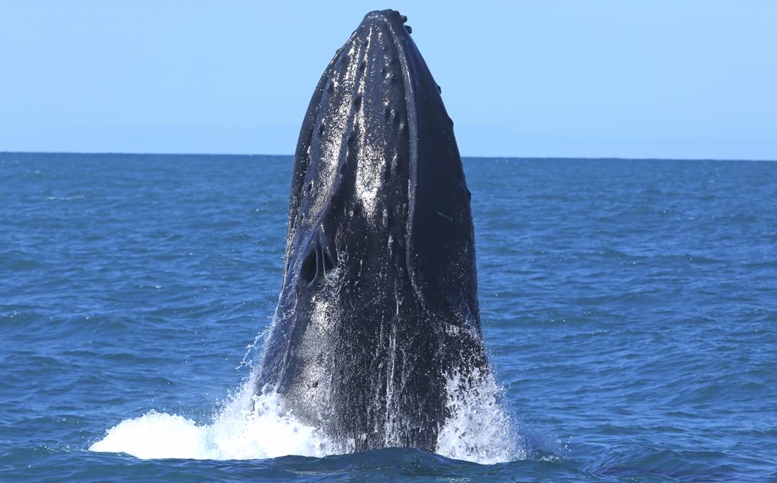 Foram 26 dias de navegação, mais de 800 milhas náuticas navegadas (cerca de 1.450 km) e 173 grupos de baleias avistados.