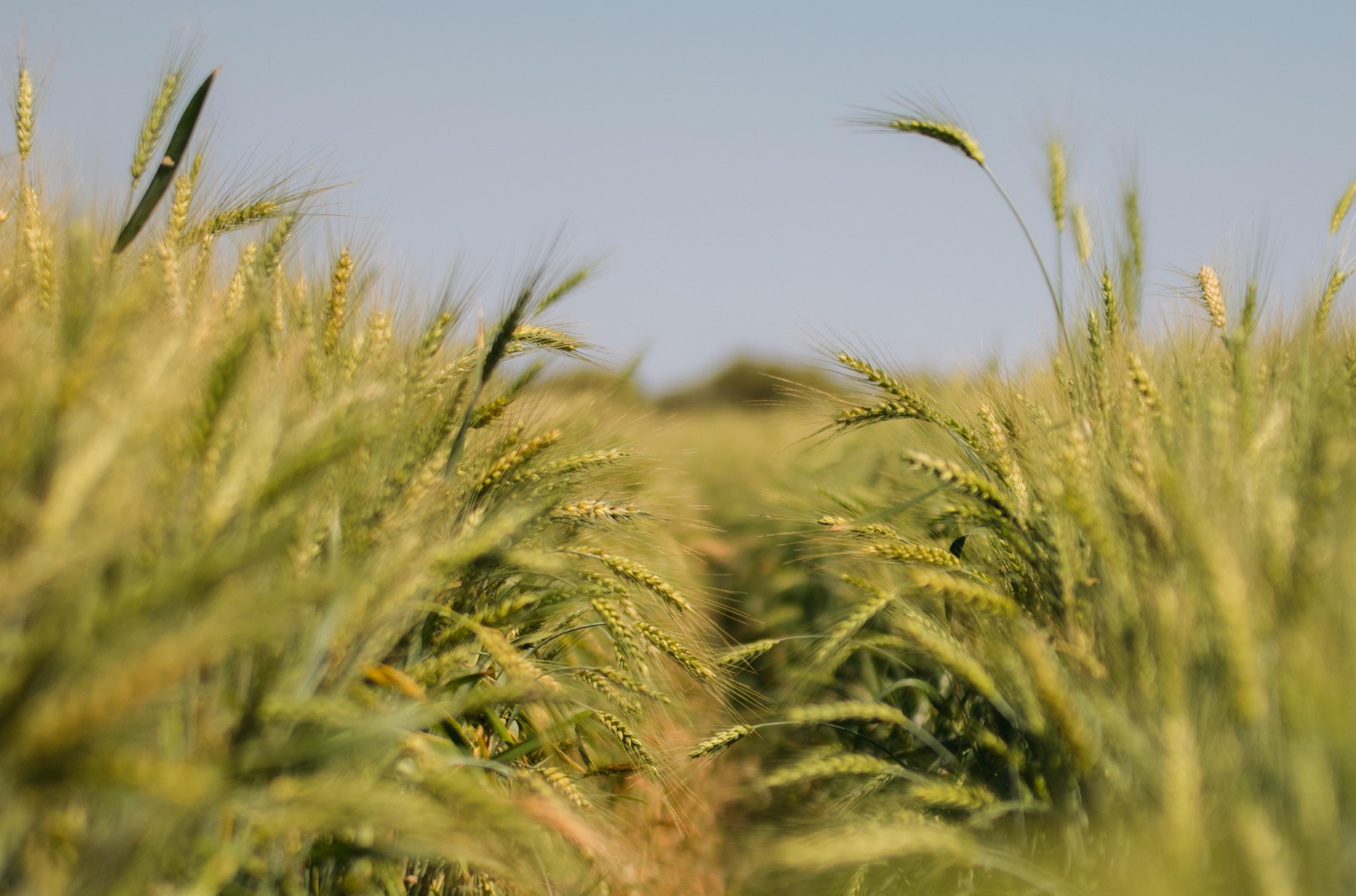 Cultura se adaptou bem em áreas irrigadas